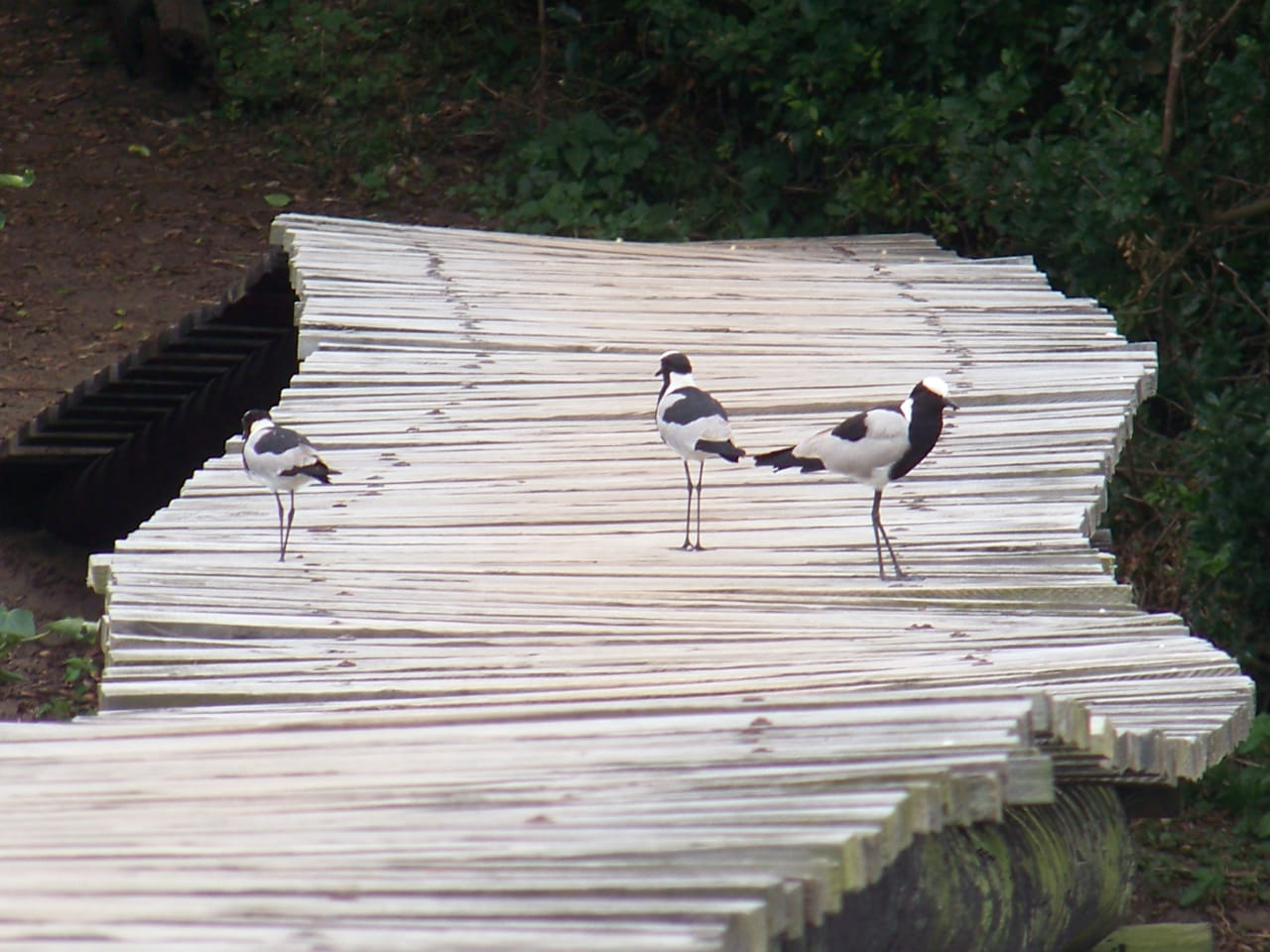 Blacksmith lapwings (Vanellus armatus) at Umhlanga Lagoon –a great place for bird lovers